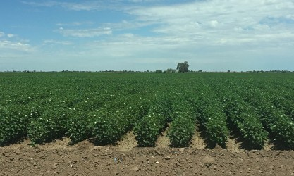 Cotton fields.