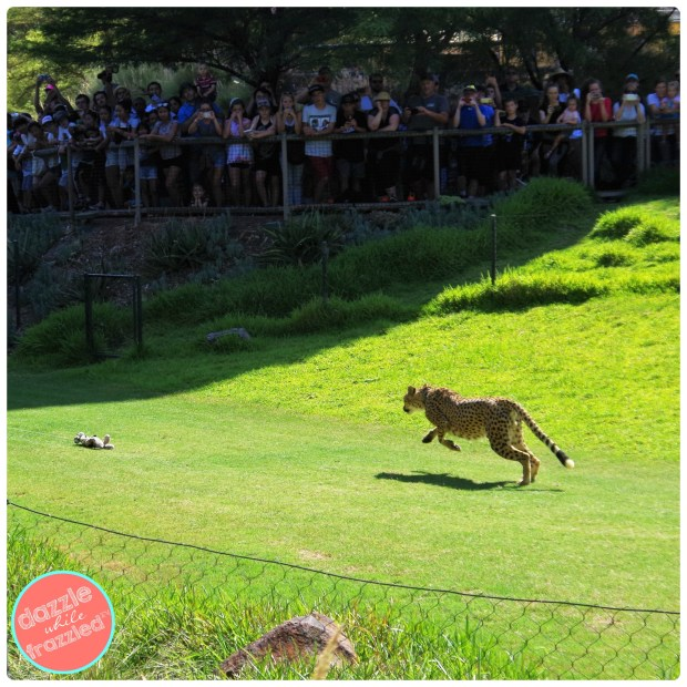 7 tips for visiting the San Diego Safari Park | DazzleWhileFrazzled.com