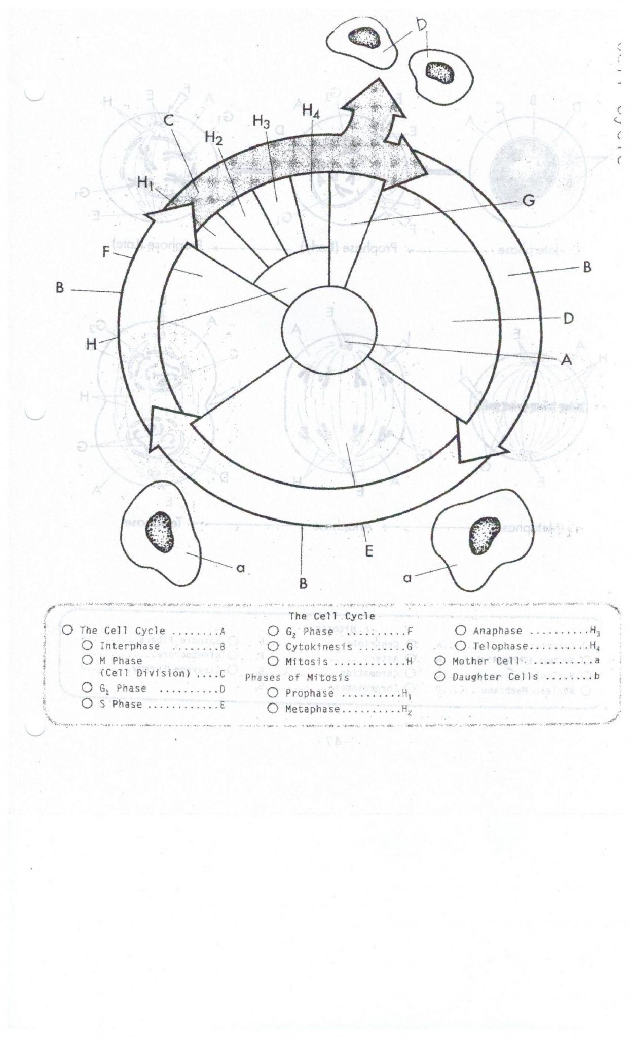 Atp Adp Cycle Worksheet 11