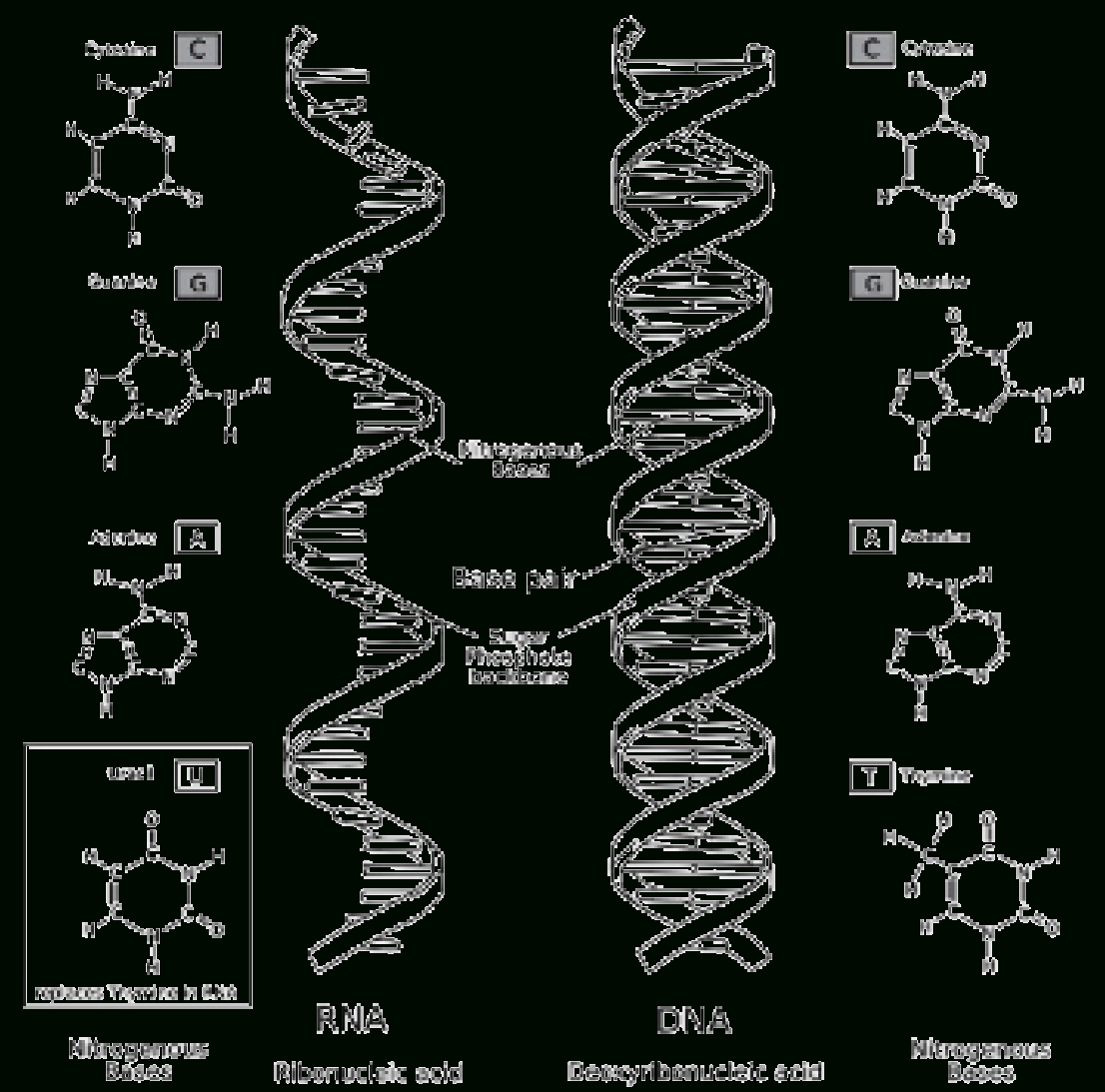 Dna And Rna Structure Worksheet Answer Key