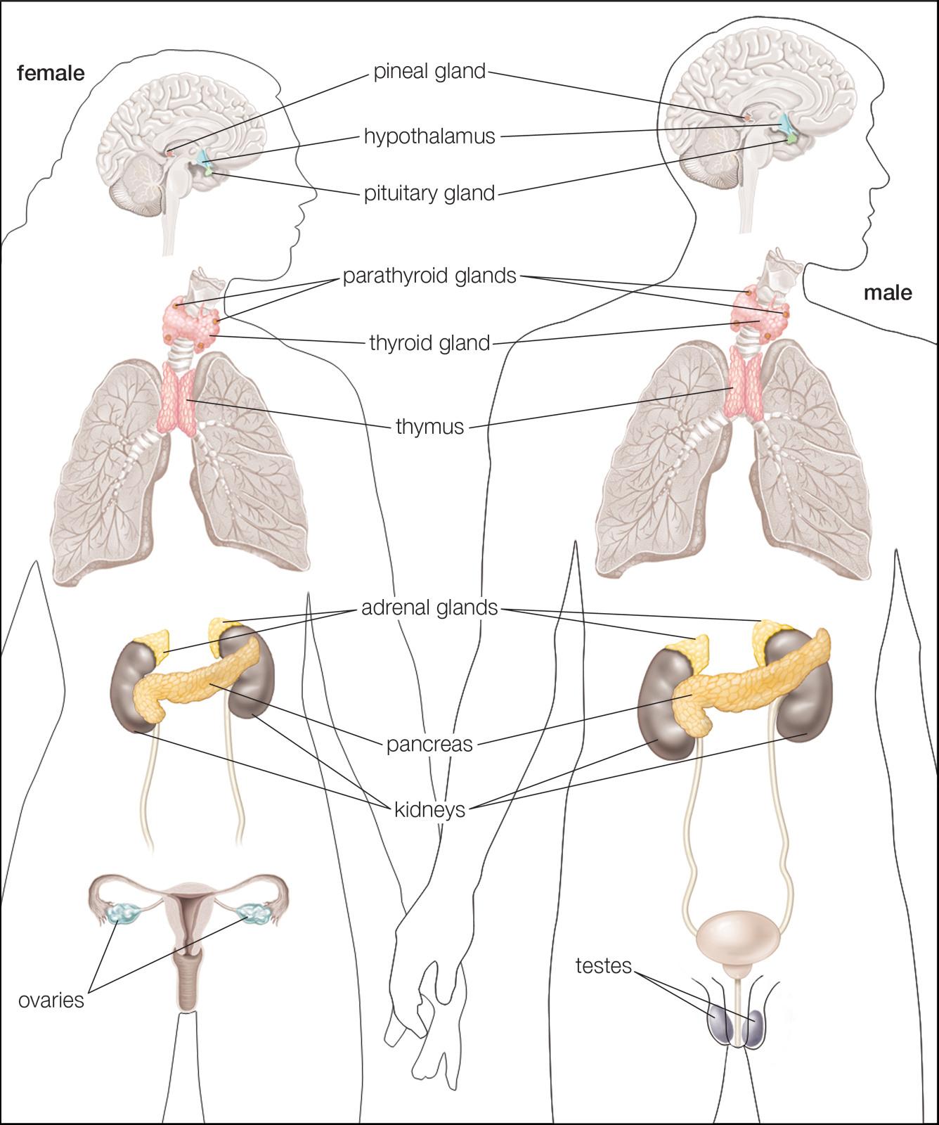 Human Endocrine Hormones Worksheet Key