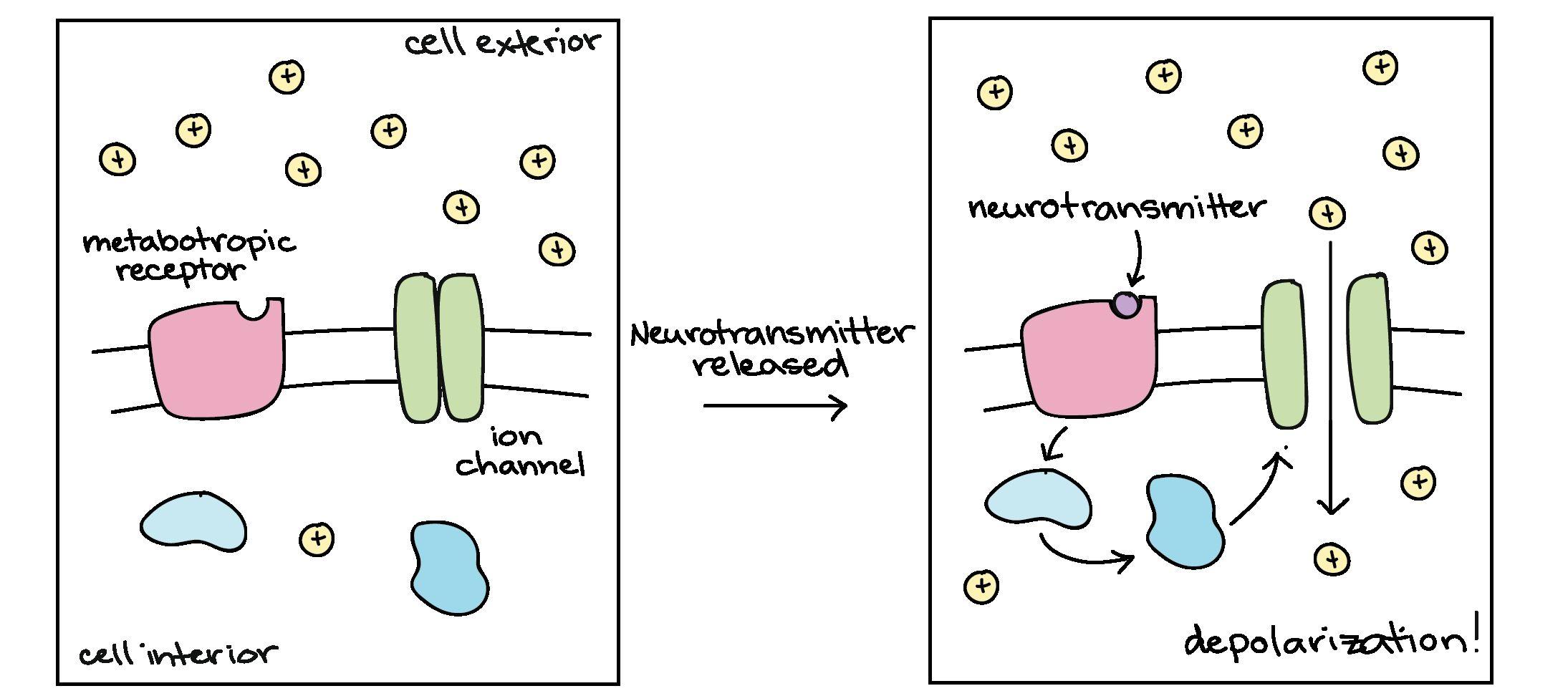 Neuron Simulation Worksheet Answers