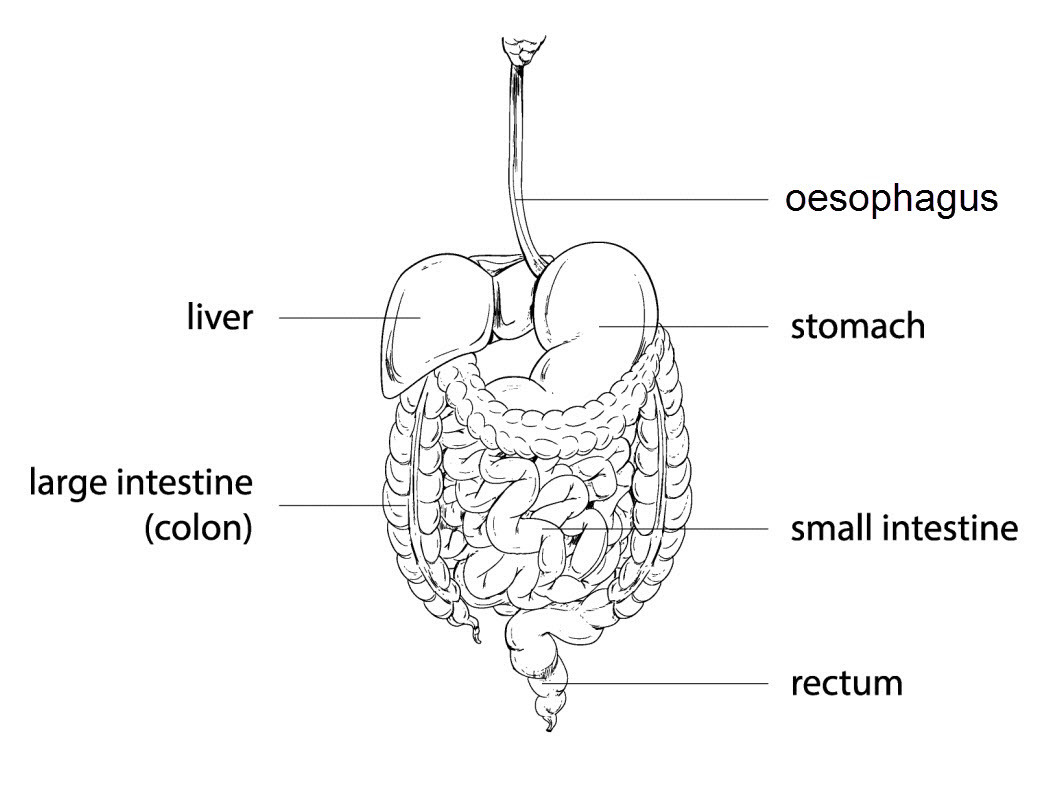 The Digestive System Worksheet Edplace