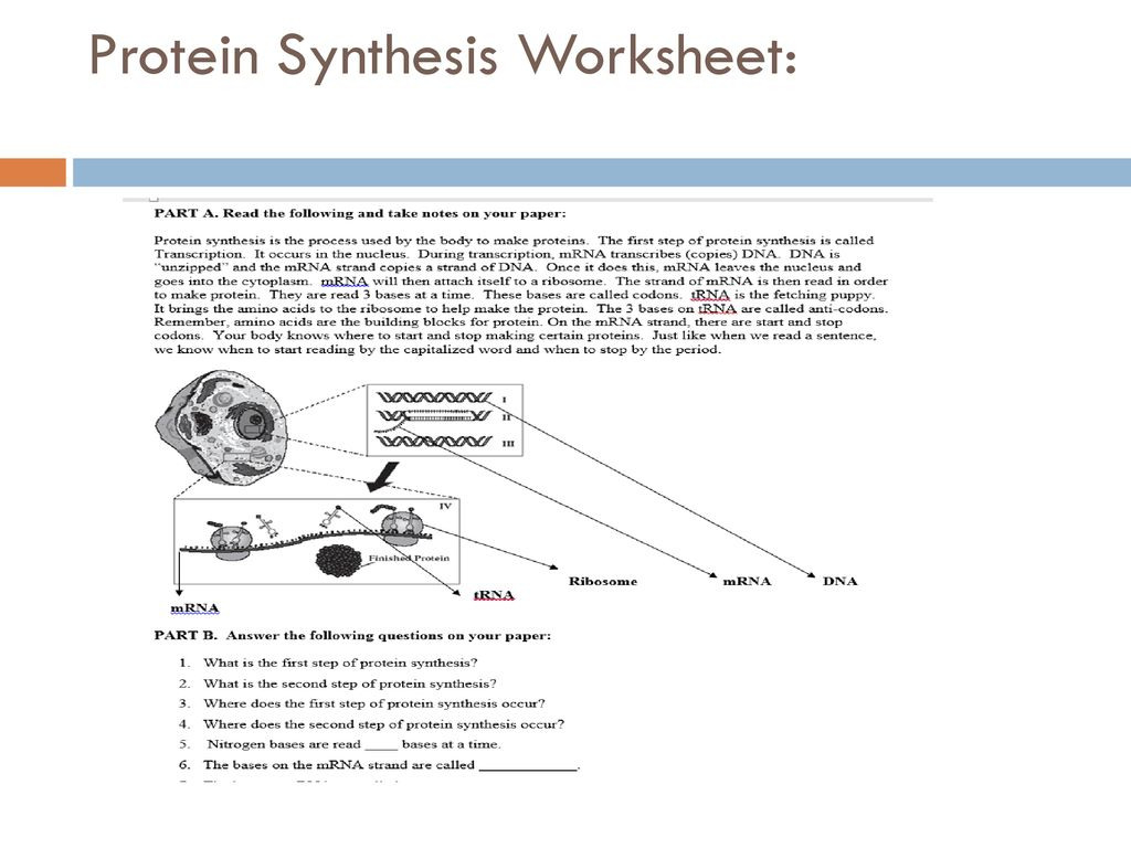 Protein Synthesis Worksheet Answer Key Part B