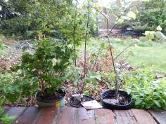 Native shrubs in containers