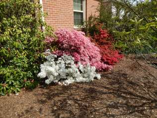 Azaleas showing off in the shadow of the Franklinia