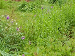 Purple spiderwort, pink asters, fleabane stalks, Joe Pye weed in the foreground, weeds everywhere (backyard)