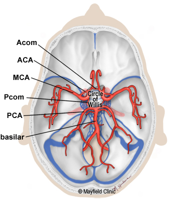 Illustration showing the Circle of Willis