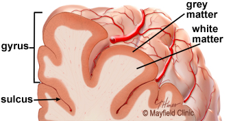 A detailed illustration of a fold is called a gyrus and the groove between is a sulcus