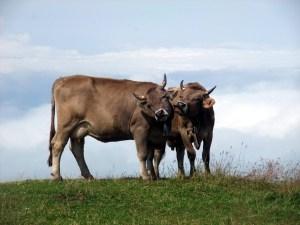 Kühe am Abgrund.