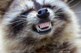Zombie raccoons
