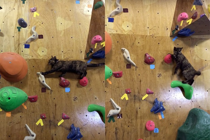 Funny Animal Video – Cat Masters Climbing Wall