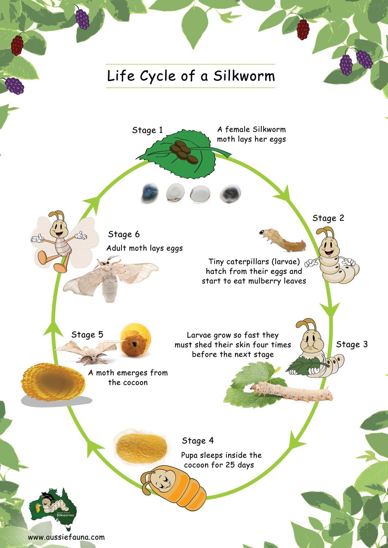 Life Cycle Of Silkworm