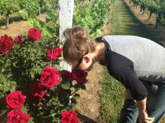 Nassau Valley Vineyard plants red roses to mark each row of grapes. Could they BE any cuter?