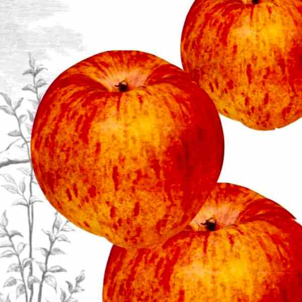 APPLES: VITAL AND VARIED ROLE