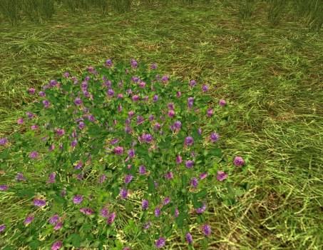 Massif de Trèfles Violets
