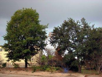 Quercus risophylla 2 12-20-08