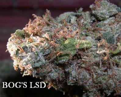 L.S.D. (BOG LifeSaver x NY City Diesel) 13 Regular Seeds