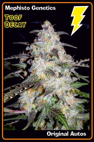Toof Decay F5 (Sweet Tooth x P.I. Breeding Auto [inbred to F4]) Auto 7 Feminized Seeds