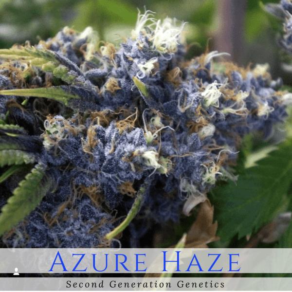 Azure Haze (Super Silver Haze x DJ Short F4 Blueberry) 14 Regular Seeds