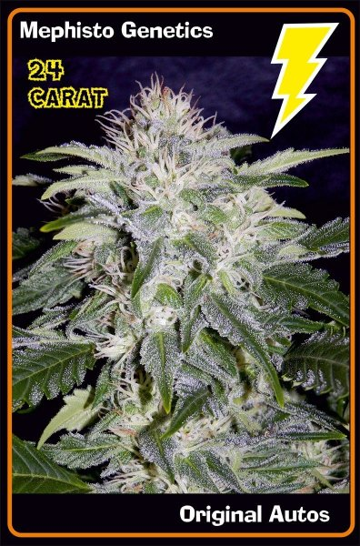 24 Carat Auto F6 (BOG Seeds Sour Boggle x Breeding Auto Purple Indica) 7 Feminized Seeds