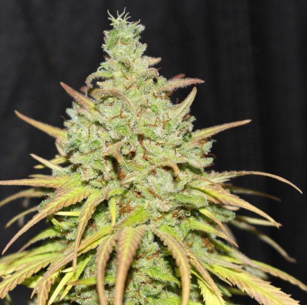 Boom Shakalaka (Heirloom Malawi x F5 C99 Pineapple) 7 Regular Seeds