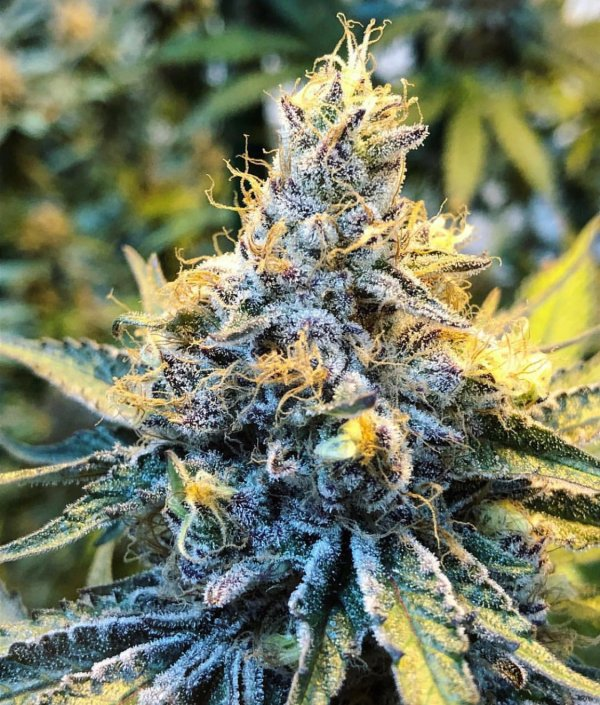 Tropicanna Punch (Purple Punch x Tropicanna Cookies) 12 Regular Seeds