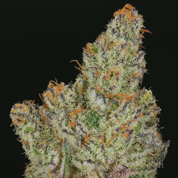 Divina Obscura (Charlotte's Web x Ms.Universe) 10 Regular High CBD Seeds