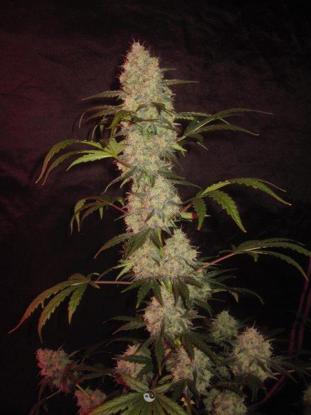 BlkMrrr Auto 3 Feminized Autoflower Seeds