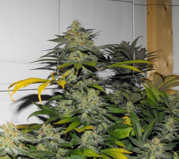 Casey Jones x Sour Bubble Bx1 13 Regular Seeds