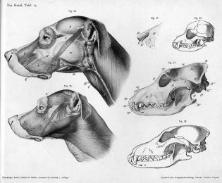 1240px-Dog_anatomy_head
