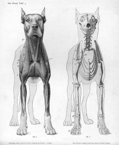 Dog_anatomy_anterior_view
