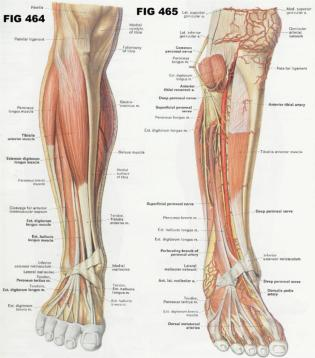 Forearm-Muscles-Diagram-Structure-picture-iIYR