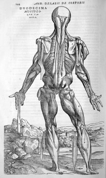 Vesalius_muscles_back