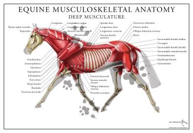 equine-deep-musculature-poster