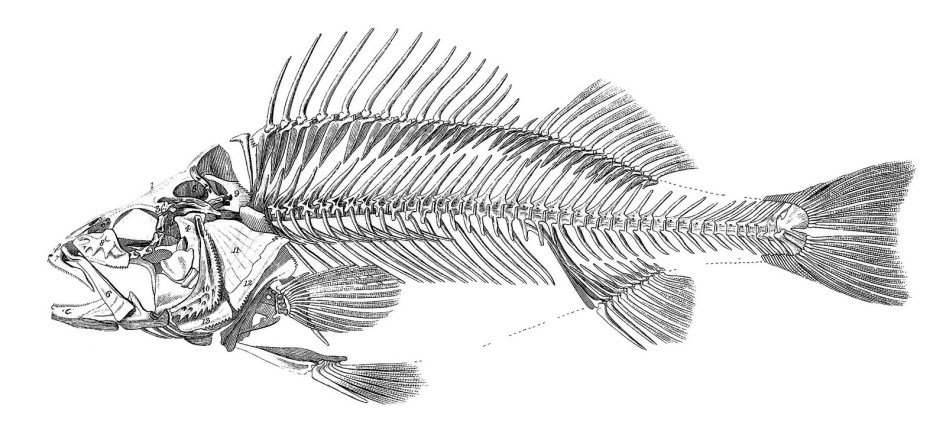 fishskeleton-graphicsfairy009bw