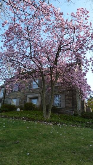 liliomfa - ez még a cseresznyékkel egy időben virágzott