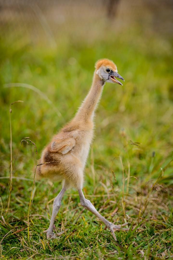 Grey Crowned Cranes Daniel Dolpire Wildlife Photography