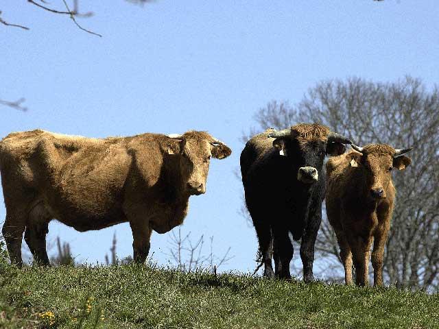 Rezepte mit Bio-galizischen Rindfleisch