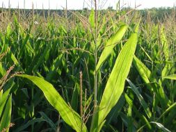 Spanien: der Anbau von transgenem Mais vs Bio Mais