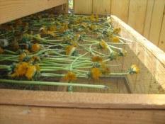 Was Pero Alles trocknet frische Loewenzahnblueten mit Stiel