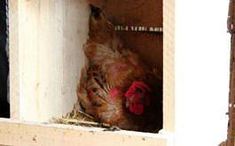 Huhn beim Brϋten