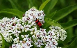 Roter Käfer