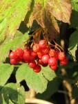 reife Schneeball Beeren zum Ernten