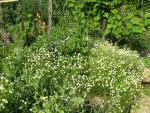 Kamillen Blüten zwischen unseren Huegelbeeten im Garten