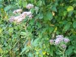 bald verbluehtes Wasserdostkraut in unserem Garten