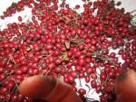 Abgrabschen der Beeren fuer das Weissdornbeeren Mus