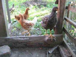 Huehner, Enten u Gaense sind eingezogen, hier bei Permakultur-Garten mit Land-Hotel
