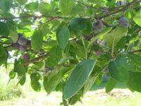 Fruchtwähe unsere Pflaumen