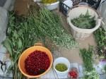 auf unseren Ausfluegen um Karlovac sammeln wir Johanniskraut, Blueten, Beeren uvm